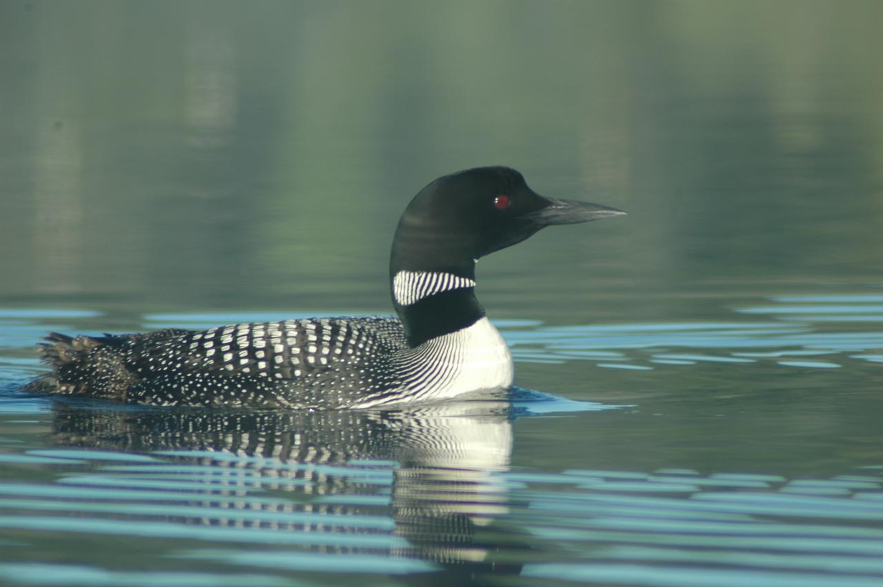 Common loon 3
